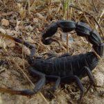 Fattail Scorpion