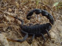 4 Scorpions Most Dangerous In The World