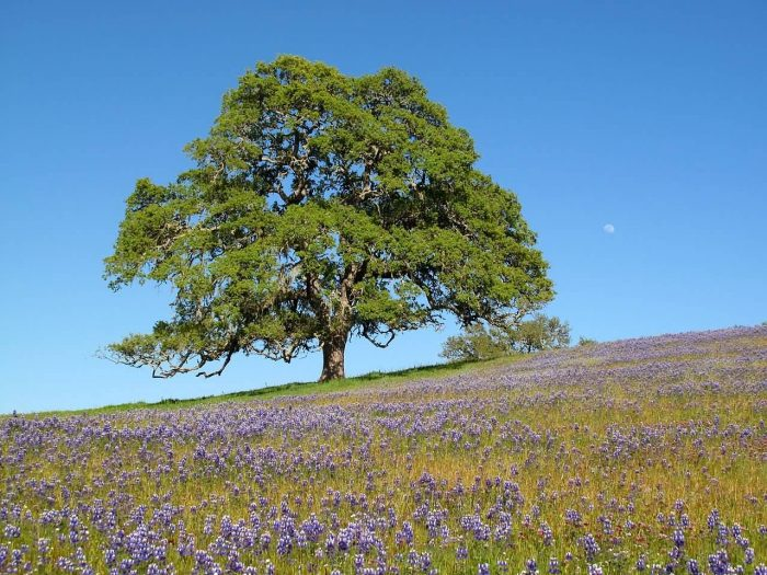 Oak Tree With Moon And Wildflowers