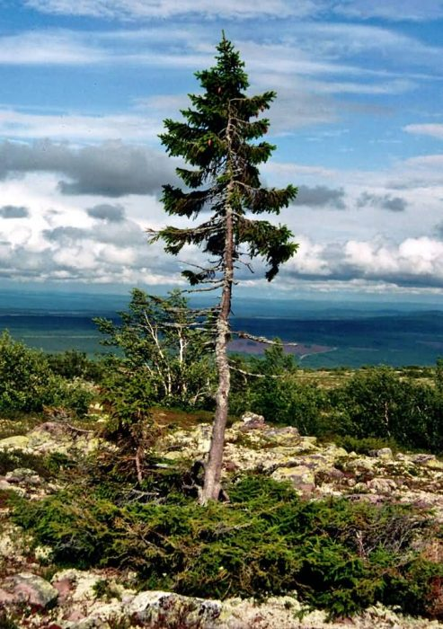 Old Tjikko Is A Tree In Sweden