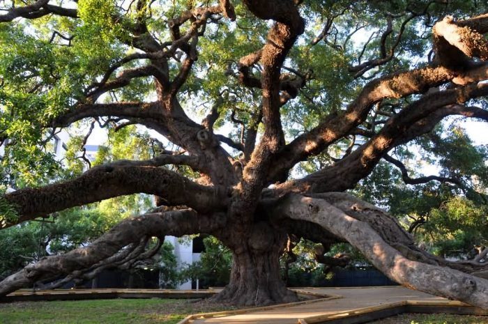 Treaty Oak In Jacksonville