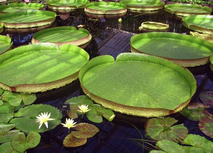 Top 8 aquatic plants which floats on water allrefer for Pond plants names