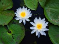 Top 8 Aquatic Plants Which Floats On Water