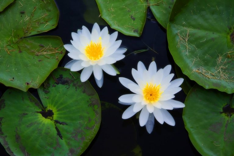 Top 8 Aquatic Plants Which Floats On Water Allrefer