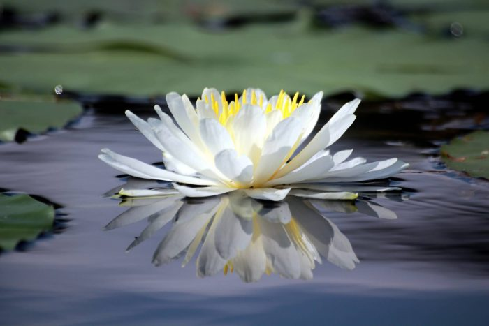 Beautiful White Lotus Flower Photograph by Yali Shi