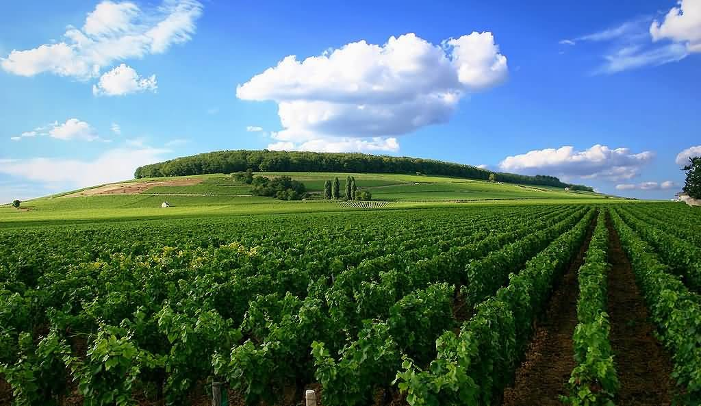 Vineyard In Cote de Nuits