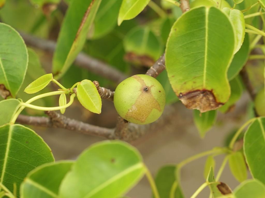 1280px-Hippomane_mancinella_(fruit)
