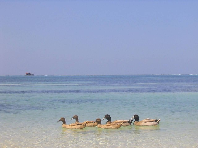 Ducks On A Beach, Lakshadweep Island