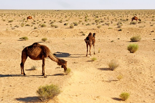 Camels In Desert, Tunisia