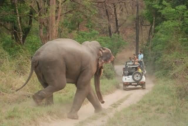 Asian Elephant At Corbett National Park