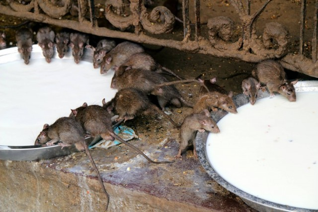 Rat At Karni Mata Temple
