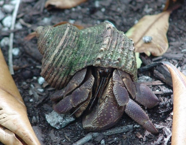 Juvenile Coconut Crab In shell