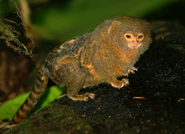Pygmy Mouse Lemur For Sale