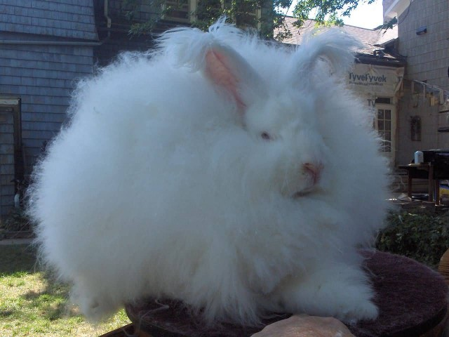 Joey Giant Angora Rabbit