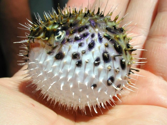 Tiny Spiny Pufferfish