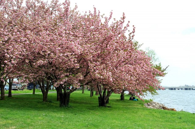 USA Cherry Blossom Tree