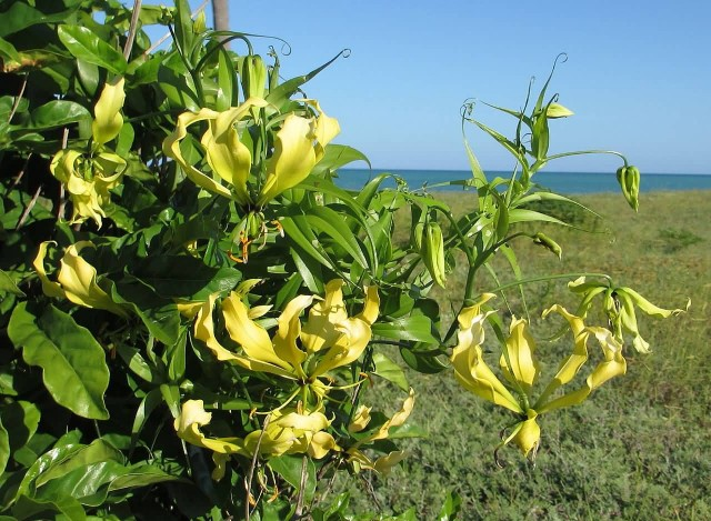 Yellow Gloriosa Superba Plant