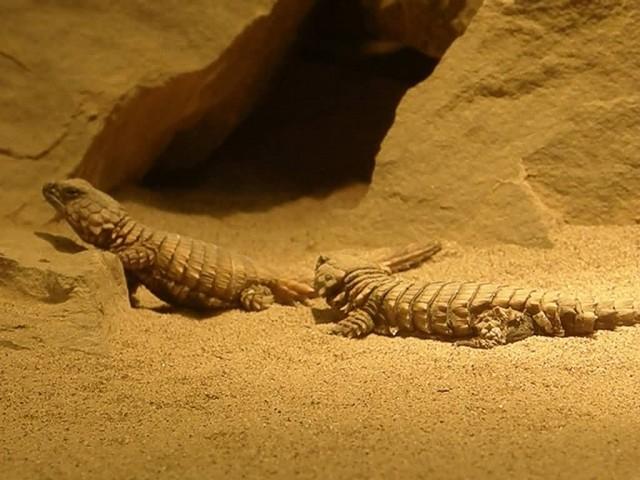 Armadillo Girdled Lizards