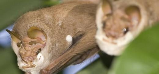 Wrinkle Faced Bat