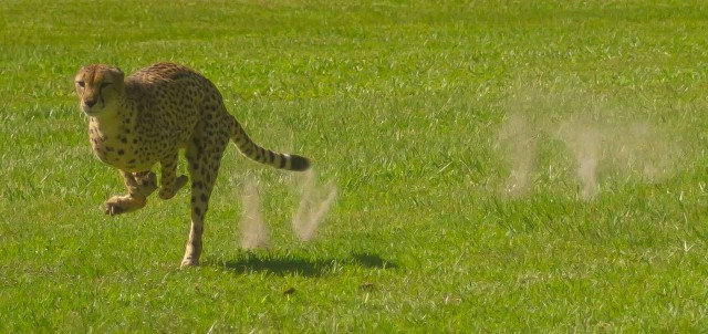 Cheetah Run At White Oak