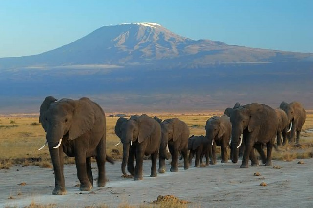 Elephants At Amboseli National Park