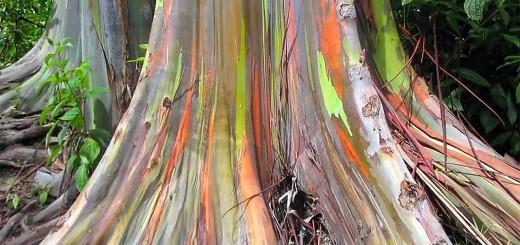 Rainbow Eucalyptus Tree Base
