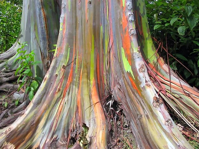 Rainbow Eucalyptus Tree Base