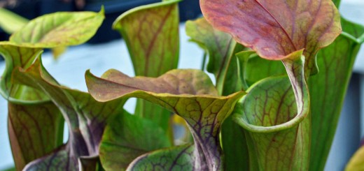 Green Pitcher Plants