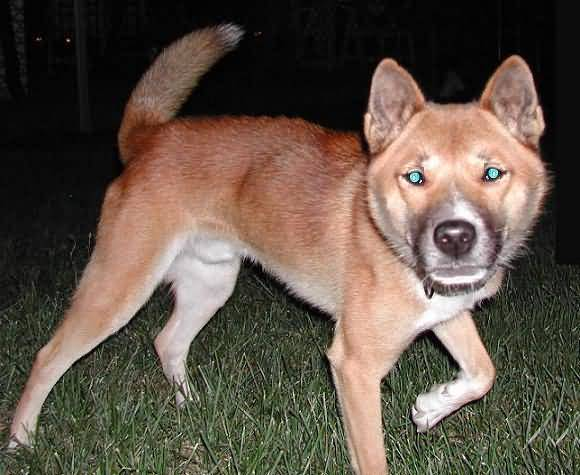New Guinea Singing Dog By Night