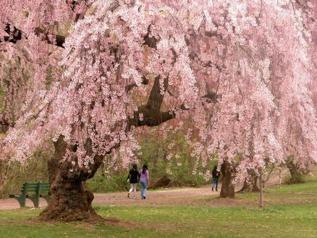 USA Cherry Blossom Trees