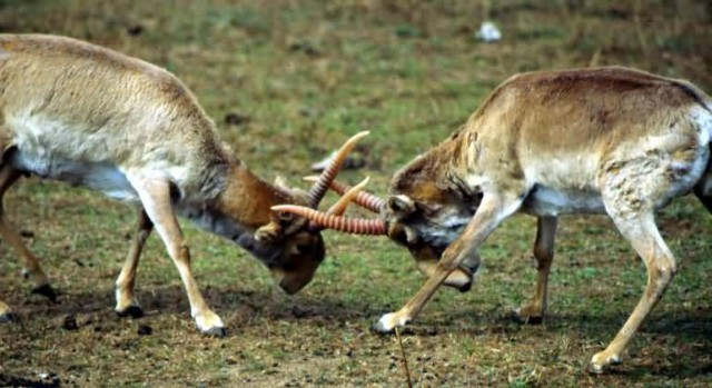 Saiga Fight