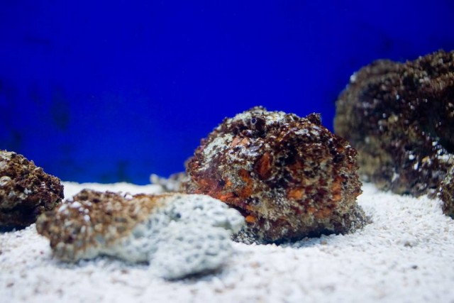 Stonefish the most venomous fish in the world allrefer for Stone fish facts