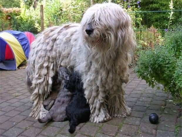 Bergamasco With Puppies