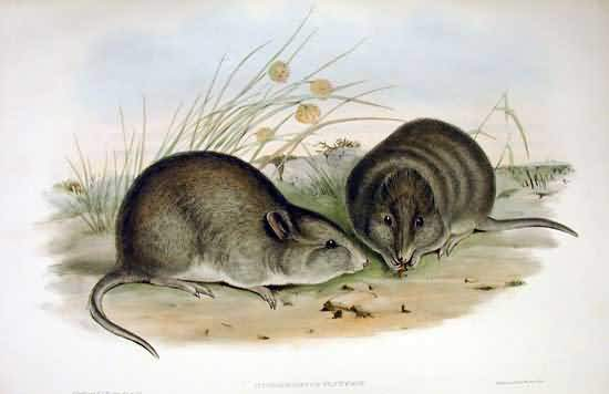 Broad Faced Potoroo