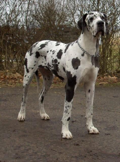 Dogge Odin