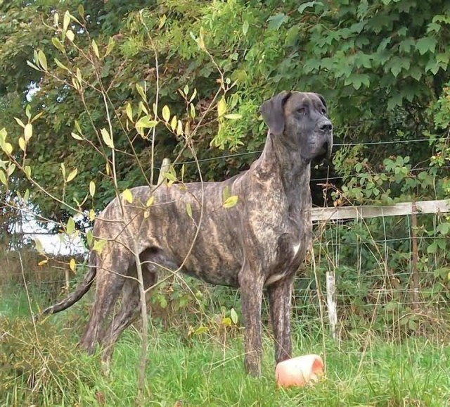Duffy The Brindle Great Dane