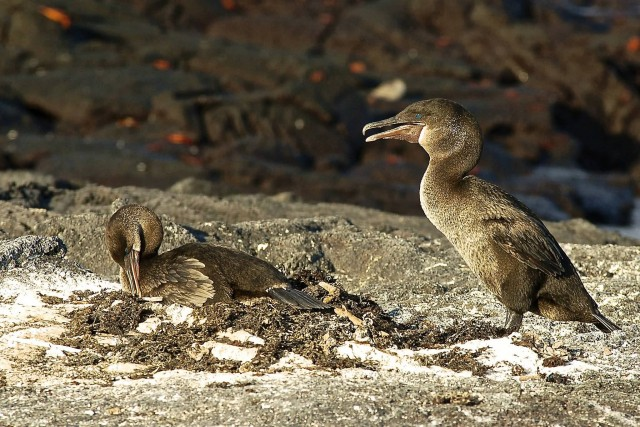 Flightless Cormorants On Their Nest
