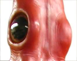 Giant Squid Eye