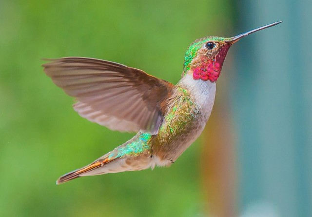 Humming Bird Of Silver Plume