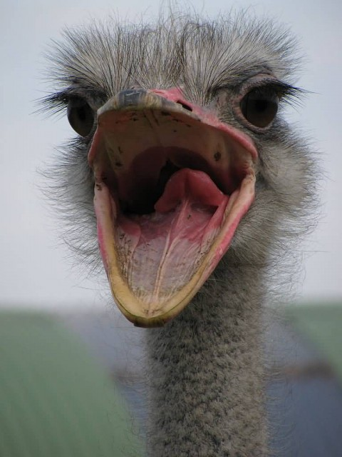 Ostrich Mouth Open