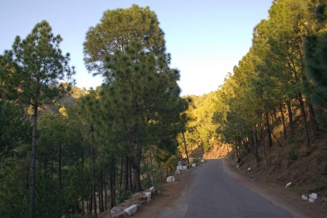 Pinus Roxburghii Kasauli