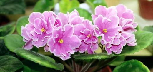 Saintpaulia Pink