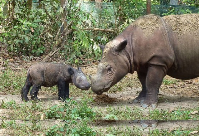 Sumatran rhinoceros Four Days Old
