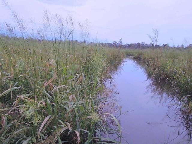 Wild Rice Field