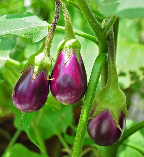 Eggplant Fruit In Plant