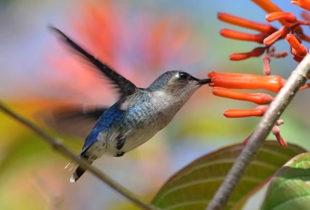 Bee Hummingbird
