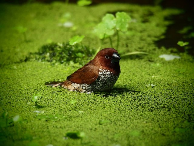 Bird In Duckweeds