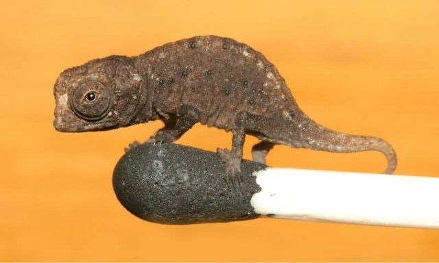 Brookesia Micra On A Match Head