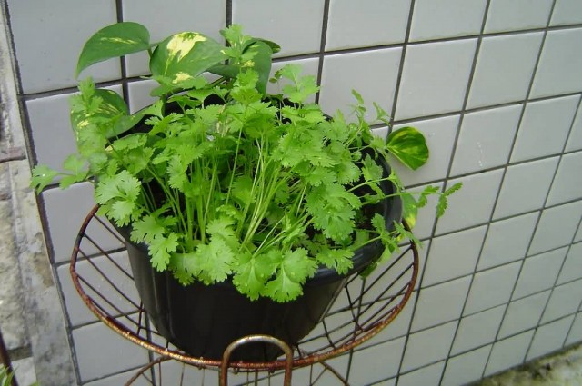 Coriander In A Flower Pot