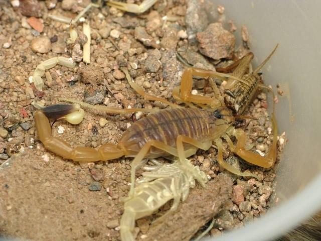 Deathstalker Eating A Cricket